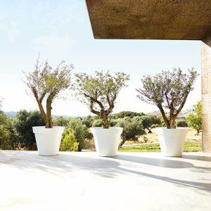 hvide potter, oliven træer