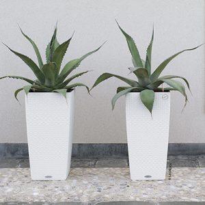 hvide krukker, agave