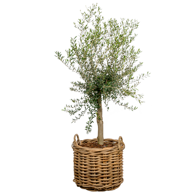 Olea, Oliven, Kurve med plante,
